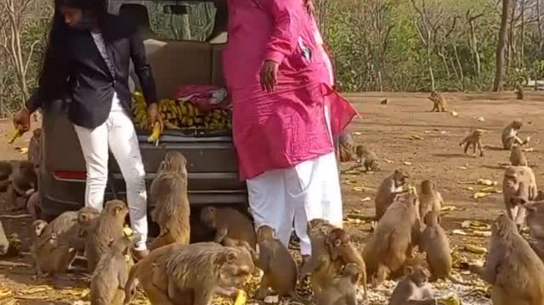 اطعام القرود